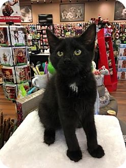Domestic Mediumhair Kitten for adoption in Turnersville, New Jersey - Grant