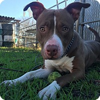 Pit Bull Terrier Mix Dog for adoption in Chico, California - Goober
