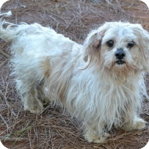 Lhasa Apso Mix Dog for adoption in Athens, Georgia - Millie