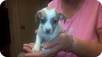 Chihuahua Puppy for adoption in Hazard, Kentucky - Cashew