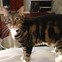 American Shorthair Cat for adoption in San Jose, California - Tifa