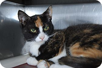 Domestic Shorthair Cat for adoption in Pottsville, Pennsylvania - Bronda