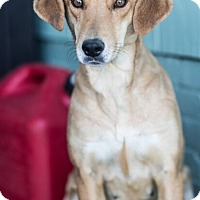 Adopt A Pet :: Edie - Currently in Foster - Roanoke, VA