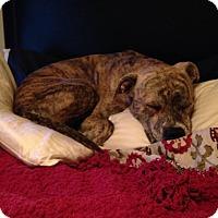 Adopt A Pet :: Moose - Windermere, FL