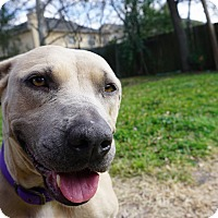 American Staffordshire Terrier/American Pit Bull Terrier Mix Dog for adoption in Houston, Texas - Nala