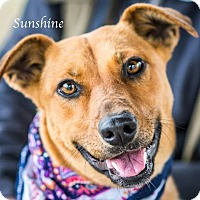 Adopt A Pet :: Sunshine - West Hartford, CT