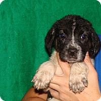 Adopt A Pet :: Gemini - Oviedo, FL