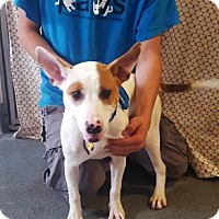Terrier (Unknown Type, Medium) Mix Puppy for adoption in Belle Chasse, Louisiana - Patches
