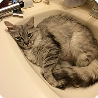 Adopt A Pet :: Calliope Vanderbuilt - Phoenix, AZ