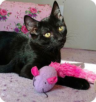American Shorthair Kitten for adoption in White Lake, Michigan - Smurf