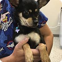 Adopt A Pet :: Chloe - Detroit, MI - Dayton, OH