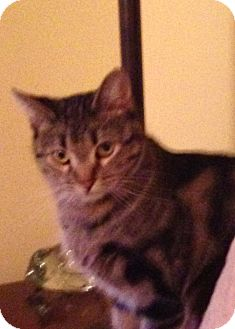 Domestic Shorthair Cat for adoption in Roseville, Minnesota - Pheenix