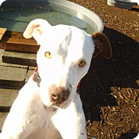 Pointer/Pit Bull Terrier Mix Dog for adoption in Issaquah, Washington - Tantalizing Tobey