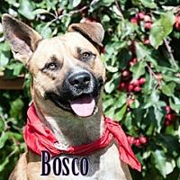 Akita/Shepherd (Unknown Type) Mix Dog for adoption in Hamilton, Montana - Bosco