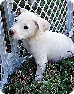 Labrador Retriever/Beagle Mix Puppy for adoption in Bayshore, New York - Sherry