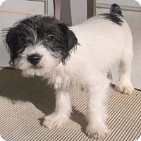Maltese/Jack Russell Terrier Mix Puppy for adoption in Birch Tree, Missouri - Bobby