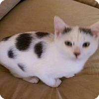 Domestic Shorthair Cat for adoption in Harrisonburg, Virginia - Paws