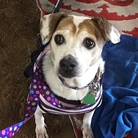 Jack Russell Terrier Dog for adoption in Oklahoma City, Oklahoma - Mazie in Tulsa, Oklahoma
