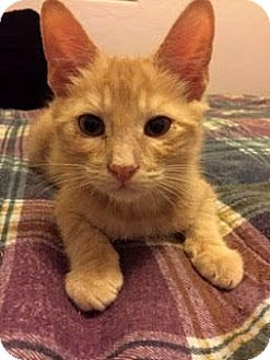 Domestic Shorthair Kitten for adoption in Chandler, Arizona - Spark