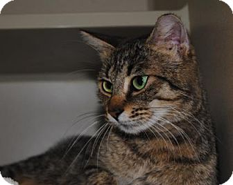 Domestic Shorthair Cat for adoption in Ridgeland, South Carolina - Florence