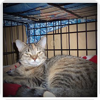 Domestic Shorthair Cat for adoption in Medford, Wisconsin - JEWEL