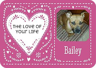 Boxer/Pit Bull Terrier Mix Dog for adoption in Clear Lake, Iowa - Bailey
