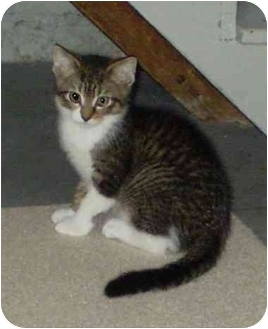 Domestic Shorthair Kitten for adoption in Boston, Massachusetts - Alistair
