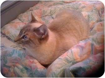 Siamese Cat for adoption in Little Rock, Arkansas - Ela