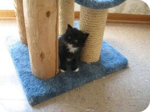 Domestic Shorthair Kitten for adoption in Omaha, Nebraska - Cylde