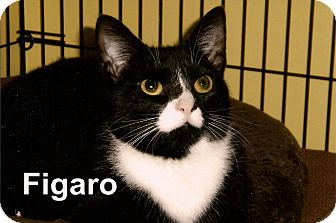 Domestic Shorthair Cat for adoption in Medway, Massachusetts - Figaro