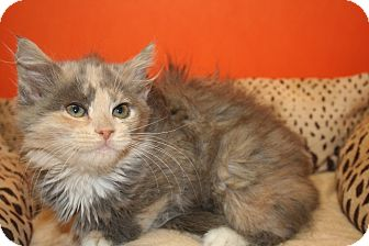 Maine Coon Kitten for adoption in SILVER SPRING, Maryland - KENDALL