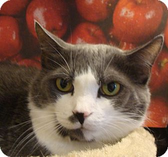 Domestic Shorthair Cat for adoption in Albany, New York - Abby