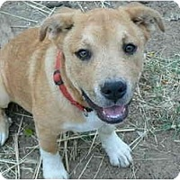 American Pit Bull Terrier/Shepherd (Unknown Type) Mix Dog for adoption in Thatcher, Arizona - Toby