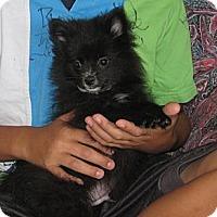 Adopt A Pet :: Elbert - Salem, NH