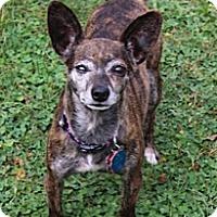 Adopt A Pet :: Desi - South Amboy, NJ