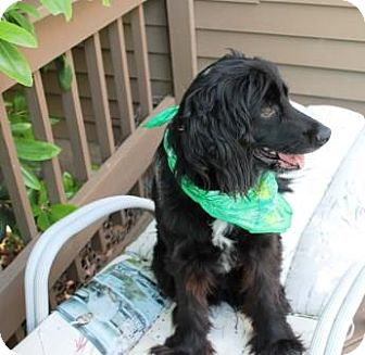 Flat-Coated Retriever/Retriever (Unknown Type) Mix Dog for adoption in Solebury, Pennsylvania - Buddy