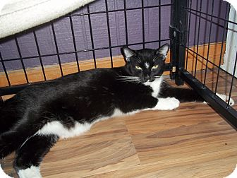 Domestic Shorthair Cat for adoption in YOUNGTOWN, Arizona - TUX