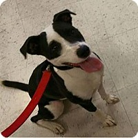 Adopt A Pet :: Brooke - Las Vegas, NV