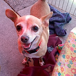 Photo 2 - Chihuahua Mix Dog for adoption in North Hollywood, California - Amy & Wally