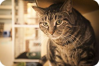 Domestic Shorthair Cat for adoption in Chicago, Illinois - Fluff
