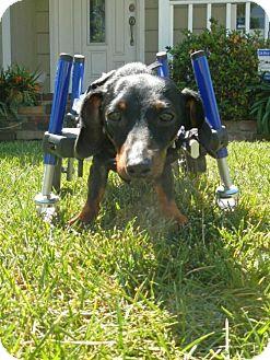 Dachshund Puppy for adoption in Anaheim, California - Jax