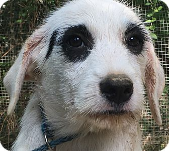 Terrier (Unknown Type, Medium)/Dalmatian Mix Puppy for adoption in Spring Valley, New York - Hero