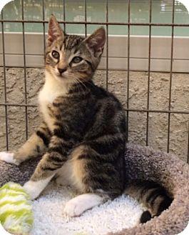 Domestic Shorthair Kitten for adoption in Sacramento, California - Antonio