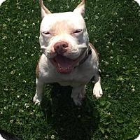 Pit Bull Terrier Mix Dog for adoption in New York, New York - Aqua