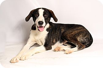 Labrador Retriever/Australian Cattle Dog Mix Dog for adoption in St. Louis, Missouri - Daisy Labshep