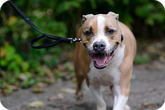 Bulldog/American Pit Bull Terrier Mix Dog for adoption in South Park, Pennsylvania - Capone