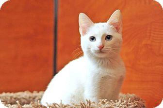 Domestic Shorthair Cat for adoption in Savannah, Georgia - Ursula