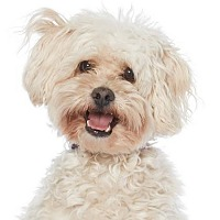 Poodle (Miniature) Mix Dog for adoption in Los Angeles, California - TANK