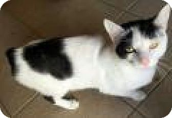Manx Cat for adoption in Shelbyville, Kentucky - Merrick