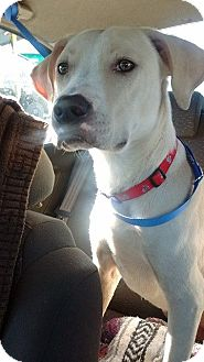 Labrador Retriever Mix Dog for adoption in GREENLAWN, New York - Ghost
